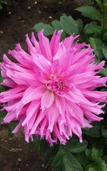 pink-dahlia1.jpg